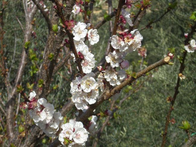 blossom650