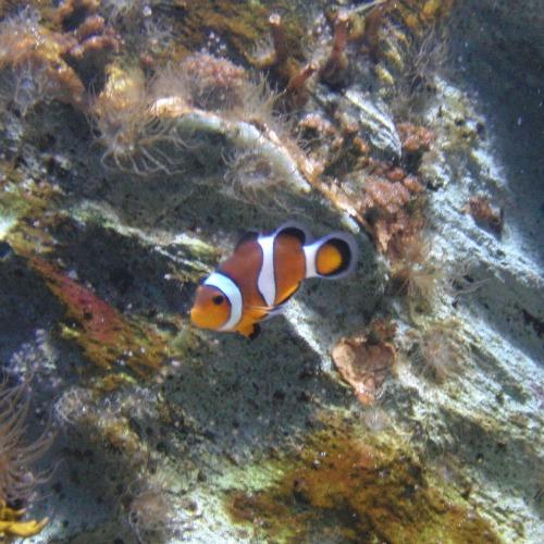 clownfish500