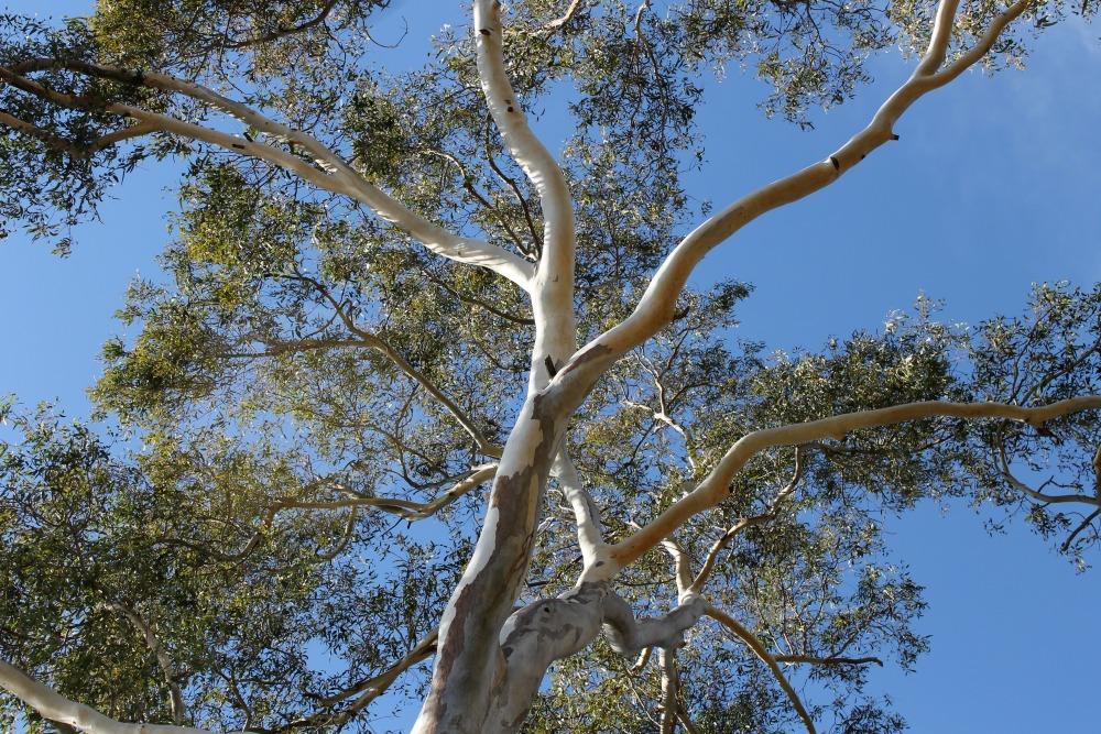 eucalyptus1000